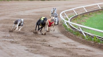 Monmore Gold Cup Final – Tips & analysis